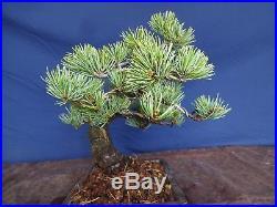 M33 Japanese white pine bonsai Miyajima goyo