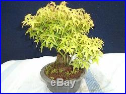 M35 Japanese dwarf maple acer palmatum kiyohime ishitsuki bonsai