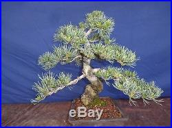 M35 Japanese white pine bonsai Miyajima goyo