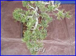 M3 Japanese white pine bonsai Miyajima goyo
