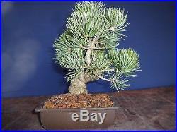 M46 Japanese white pine bonsai Miyajima goyo