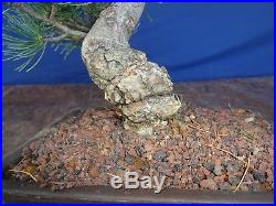 M48 Japanese white pine bonsai Miyajima goyo