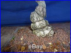 M74 Japanese white pine bonsai Miyajima goyo