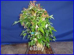 M75 Japanese trident maple bonsai goshiki kaede