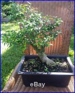 Mai Chiu Thu lá Kim Water Jasmine (Wrightia religiosa) pre bonsai #3