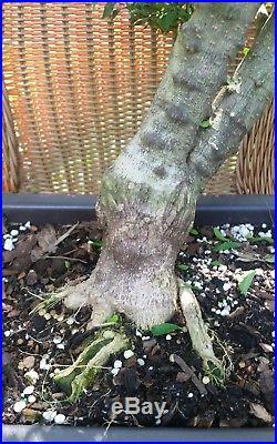 Mai Chiu Thu lá Kim Water Jasmine (Wrightia religiosa) pre bonsai #7