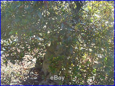 Major Imported Satsuki Azalea Bonsai -Koboyashi Tree