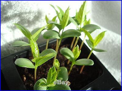 Malus Domestica APPLE TREE Bonsai 20 seeds + extra seed