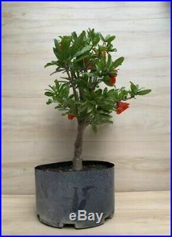 Mardi Gras Pomegranate Flowering Pre Bonsai Tree Flower Red Orange