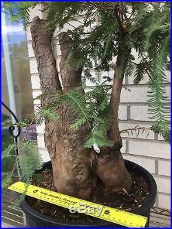 Massive Bald Cypress Knee Bonsai Tree