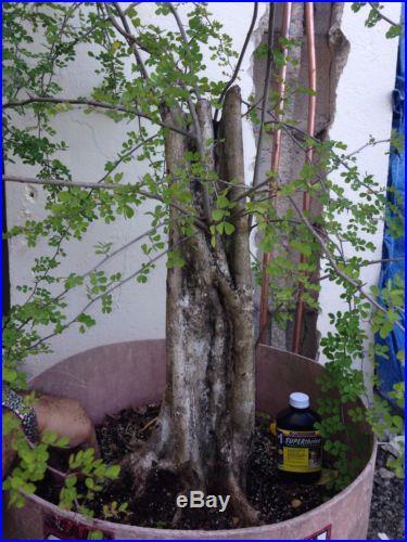 Massive Logwood Campeche Bonsai Tree