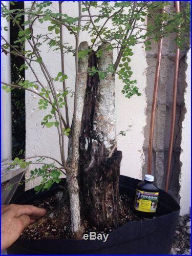Massive Logwood Campeche Pre Bonsai Tree