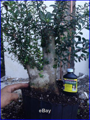 Massive neea buxifolia bonsai tree
