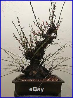 Master Piece Yabai Bonsai Tree Pink Flower