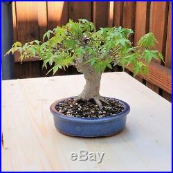 Mature Bonsai Shohin Maple, Tiny Leaves & Fissures Eimei