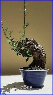 Mature Olive Tree, Bonsai Tree, SALE