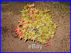 Mature Thirty Year Old Grafted Japanese Maple (Shindeshojo) Bonsai Plant