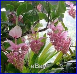 Medinilla magnifica Malaysian Orchid Philippine Orchid Plant