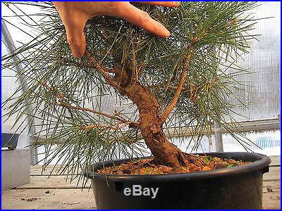 Mikawa Japanese Black Pine Bonsai - NO RESERVE