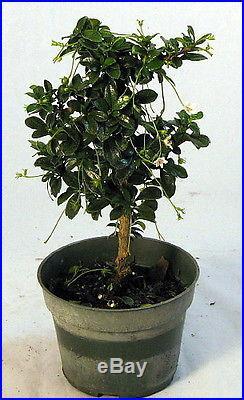 Mini Fukien Tea' Pre Bonsai Tree Carmona 4 Pot Indoors