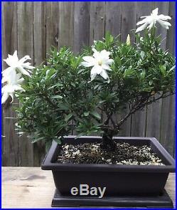 Miniature Gardenia Bonsai tree in a 10 inch plastic pot. Blooming in a few days