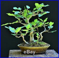 Mission fig Ficus carica bonsai small size