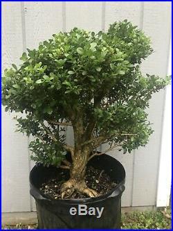 Monster Old Morris Dwarf Boxwood Tree Pre Bonsai Stock