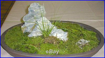 Moss Spores For Bonsai tree, Japanese Gardens, Indoor and outdoor