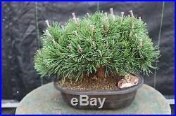 Mugo Pine Bonsai Tree