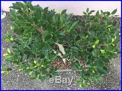Multi-trunk Tiger Bark Ficus Bonsai Tree In 10 14 Inches Plastic Container