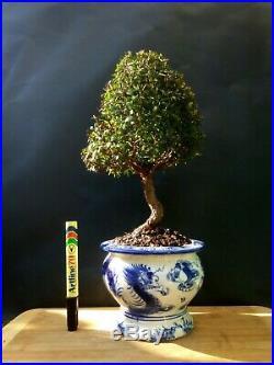 Myrtus Communis Tarentina Bonsai A special and exotic tree