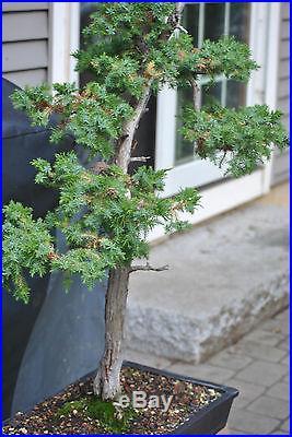 NEEDLE Juniper Specimen Bonsai Tree