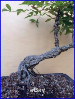 Nandina Specimen Bonsai Tree Shohin Nebari IN BLOOM
