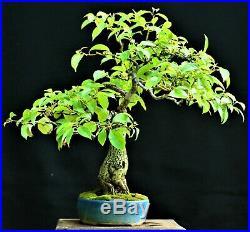 Nepal Camphor Tree (Cinnamomum glanduliferum) bonsai medium size