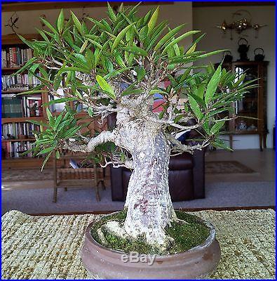 Nerifolia Ficus bonsai