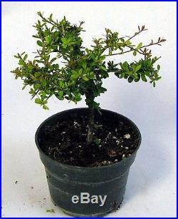 Nia Bonsai Starter Tree Neea buxifolia Easy to Grow 4 Pot