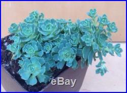 Nice Blue Mini Rosette Sedum Succulent Bonsai Terrarium & Fairy Gardens
