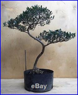 Nice Dragon Style Olive Kifu Bonsai Tree Evergreen Thick Trunk Movement Specimen