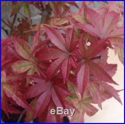 Nice Red Japanese Maple Specimen Bonsai Big Trunk Nebari Movement