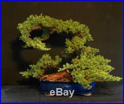 OLD Specimen Bonsai Japanese Dwarf Juniper Bonsai Tree # 637