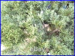 Old Blue Pfitzer Juniper for shohin mame bonsai tree thick trunk