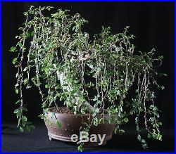 Old Bonsai-HUGE TRUNK! Chinese Elm, (Weeping Style)