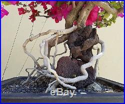 Old Bougainvillea Bonsai Tree, SALE