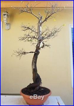 Old Chinese Elm Bonsai Tree, SALE