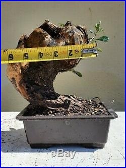 Old European Olive Tree, Bonsai Tree, SALE