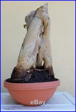 Old Ficus Benjamin's varigated Bonsai Tree, SALE