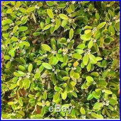 Old Flowering Boxwood Bonsai (great Nebari Old Tree)