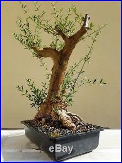 Old Fruitless Olive Tree, Bonsai Tree, Sale