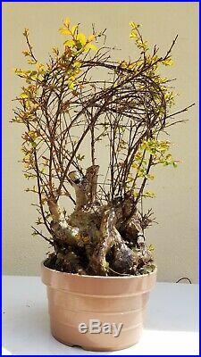 Old Giant Crape Myrtle Pink Bonsai Tree, Sale