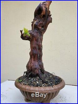 Old Grape Vine Vanessa Bonsai Tree, Sale
